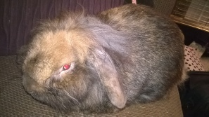 Toffee (Lop eared, Lion face Male Rabbit) loves cuddles and tickles under the chin
