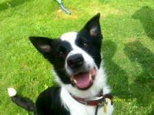 Lady (Pedigree Border Collie) As happy as Scooby Doo