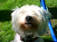 Millie of Inchmahome (Pedigre West Highland Terrier) Being nosey is the best way to learn